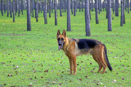 domestication: Shepherd dog on green grassland