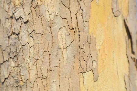 Platanus orientalis bark texture