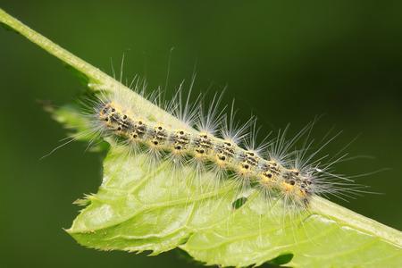 caterpillar on green leaf, closeup of photo