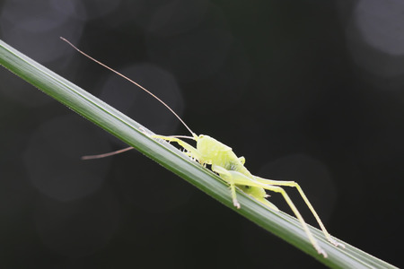 longhorned grasshoppers on green leaf in the wild