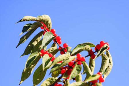 Honeysuckle plants