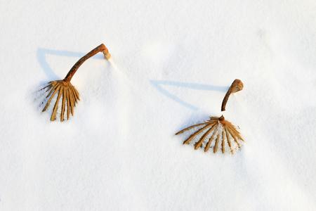dried lotus leaf in snow
