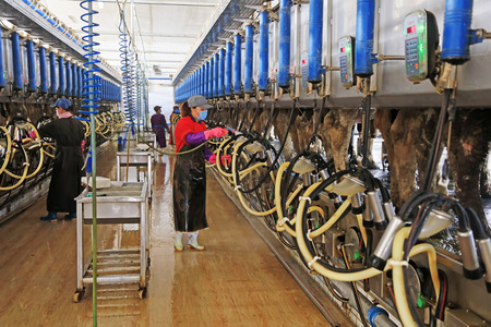 Luannan County - October 19, 2016: workers install automatic milking machines for cows in a cattle farm in Luannan County, Hebei Province, China