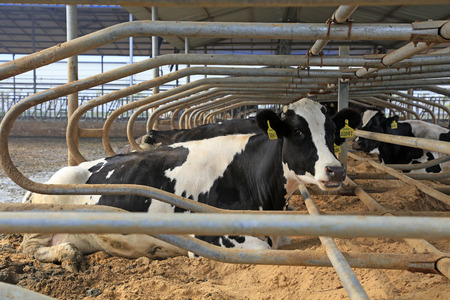 Cows lying in bed