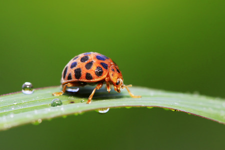 Epilachna vigintioctopunctata on plant in the wild Stock Photo