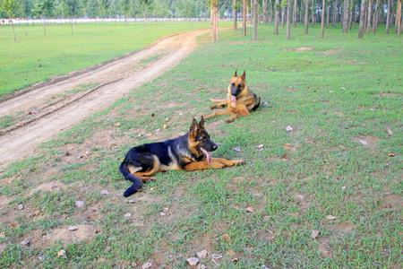 Shepherd dog on green grassland