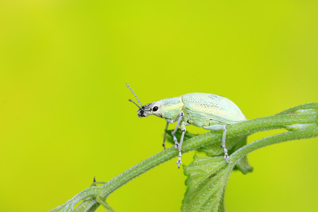 weevil on plant in the wild
