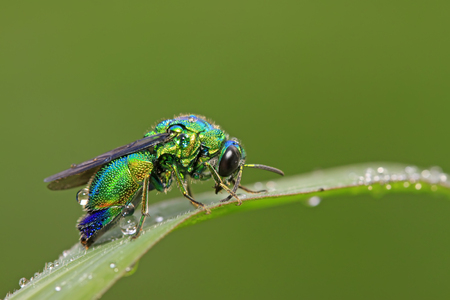 Chrysis shanghaiensis on green leaves in the wild