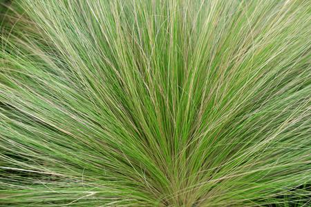 Stipa tenuifolia in the botanical garden, Chinese