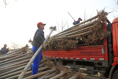 Luannan County - March 26, 2018: workers are loading fast-growing willow seedlings ready to send to Xiongan New District, Luannan County, Hebei Province, China.