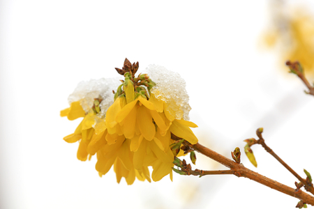 forsythia flowers covered with ice and snow