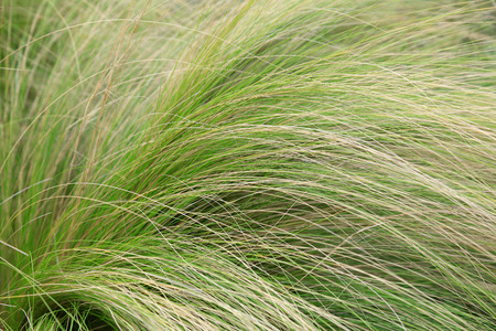 Stipa tenuifolia in the botanical garden, Chinese Banque d'images - 111491189