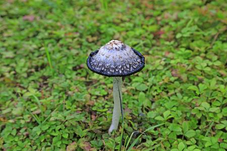 mushrooms in the green lawn