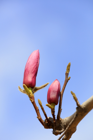 Magnolia flowers in the wild