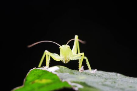 longhorned grasshoppers nymphs on green leaf in the wild Foto de archivo