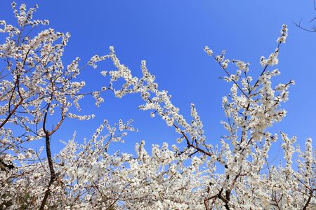 cherry blossoms in the blue sky 写真素材
