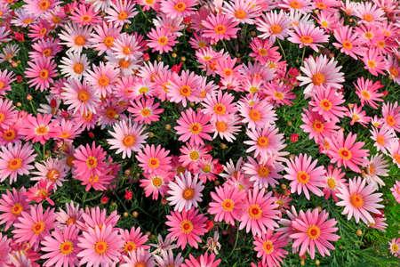 Margaret flowers in Compositae