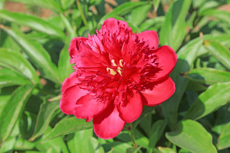 Paeonia lactiflora Pall Stock fotó