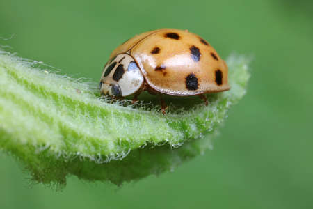 ladybug on green leaves, North China