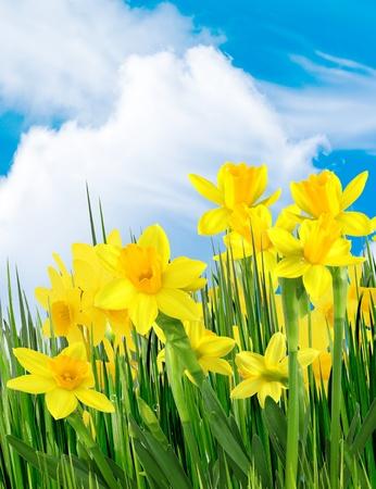Spring yellow flowers photo