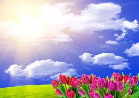 Pink tulips Stock Photo - 9423048