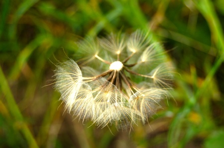 Dandelion blowing seeds Stock Photo - 9865036