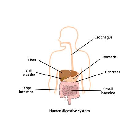 Digestive system vector illustration. Illustration