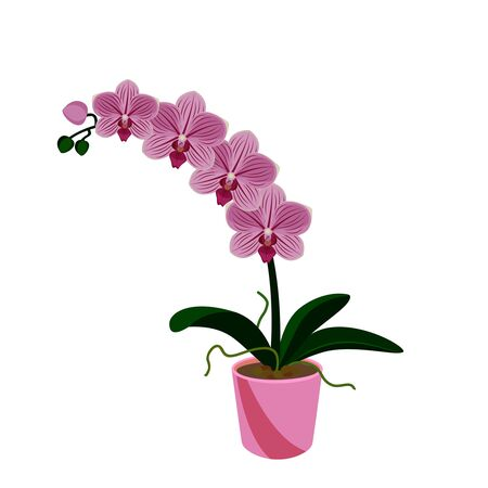 Pink orchid phalaenopsis exotic tropical flower in the pot isolated on white background vector illustration.