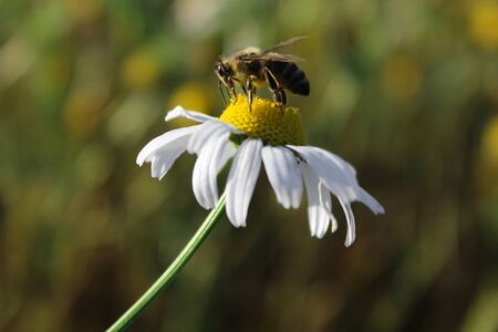 bee collects pollen from chamomile flower. macro shooting. close-up Banco de Imagens