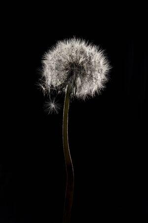 Dandelion. Close up of dandelion spores blowing away, black background. Design concept. Picture for wallpaper
