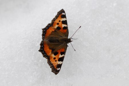 Monarch butterfly on the snow close up. Butterfly and snow texture. Nature