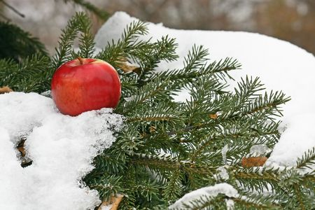 On a green branch of a pine the beautiful red apple lies. Nearby among needles the heap of snow is visible. photo