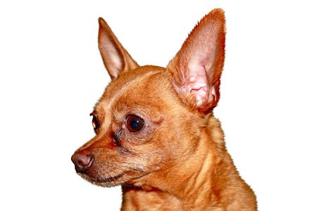 Dog breed Russian toy terrier, isolated a white background. Stock Photo - 8008265