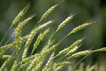 stock photo: Wheat field on a background of forest.
