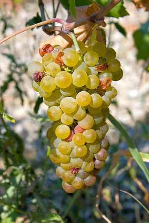 agricultura: Llight grape cluster close to  background of  vineyard.An image with shallow depth of field.