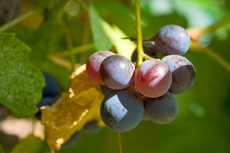 agricultura: Bunch of dark grapes.An image with shallow depth of field. Stock Photo