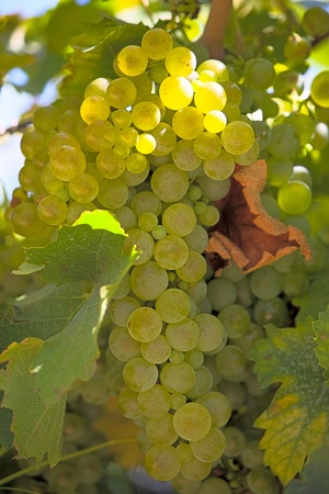 agricultura: Llight grape cluster close to background of vineyard.Image with shallow depth of field.