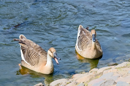 Two Geese on  water near  shore at  zoo. Stock Photo - 8993762