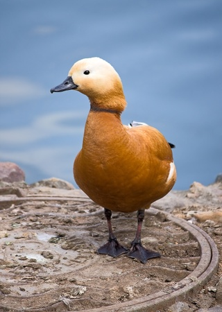 Portrait of bright Ruddy Shelduck at zoo, Russia. photo