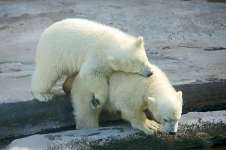 Two little polar bears playing in zoo, Russia. photo