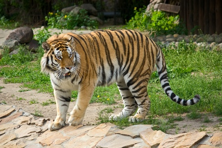 siberian tiger: View of  Siberian Tiger in  zoo enclosure, Russia.