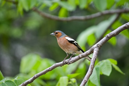 On  tree branch on  green background sits  bird. This Chaffinch. Stock Photo - 10769699
