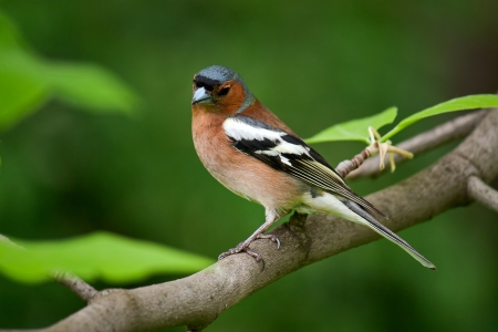 chaffinch: On tree branch on green background sits bird. This Chaffinch.