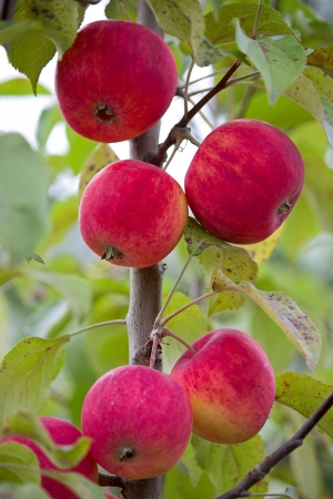 Few apples on  branch of apple tree in  garden close up. photo