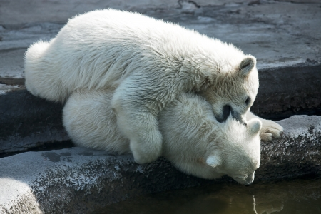 aviary: Two polar bear white in  game at  zoo, Russia.