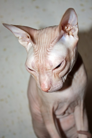 Portrait of  Cat of  Don Sphynx  close-up. Stock Photo - 16037932