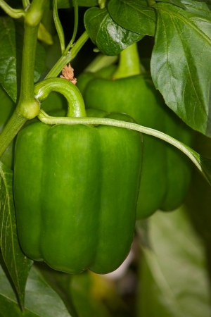 bush pepper: Green bell peppers on  bush plants ripened. Image with shallow depth of field. Stock Photo