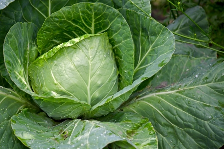 Images of Cabbage Plant Cabbage Plant Close up