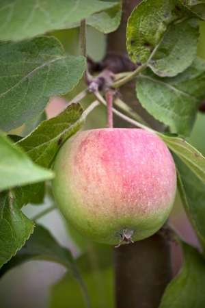 Apples on branch of apple tree in garden close up. photo