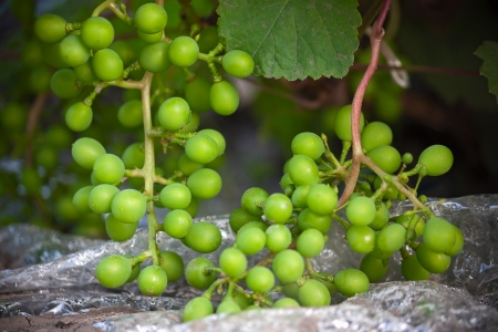agricultura: Bunch of green grapes.Image with shallow depth of field.